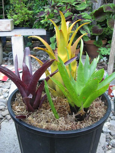 Potted Bromeliads