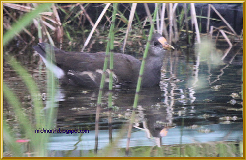 Juvenile Moorhen in my Garden Pond