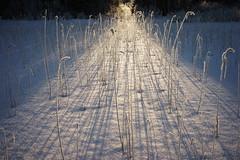 Road of light (Helena Normark) Tags: roadoflight sunrays snow winter jämtland sweden sverige sonyalpha7ii a7ii voigtländer voigtlanderultron35mmf17 ultron35mmf17