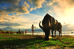 Opung Samosir and His Herd ( DocBudie) Tags: blue sunset nature indonesia buffalo nikon village traditional flash oldman bluesky kampung tpc humaninterest budaya batak shepherds humanist carabao laketoba rurallife sb800 pulausamosir samosirisland kerbau gembalakerbau langitbiru tourismdestination northsumatra nikkor18200mm danautoba sumaterautara pangururan liveview strobish volcanolake cattleherder d300s batakculture tanahbatak horbo luarbiasaphotography nikond300s batakland tujuanwisata kabupatensamosir gembalaternak kehidupandesa budayabatak visitindonesia2009 visitlaketoba2010 tobaphotographerclub tobaphotographer tobaguide sumatraphotographer