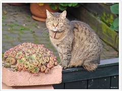 Nachbars Kater - Cat in the neighborhood