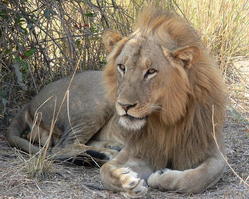 Lion - Male - South Luangwa National Park