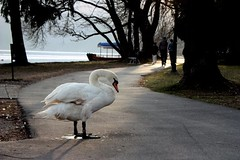 The swan (ursa.b) Tags: lake swan slovenia bled pletna