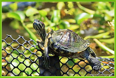 Terrapin Lazing Around (magforce) Tags: nature birding greenery sbwr bifs sungeibulohwetlandreserve wildlifesingapore migrantvisitor
