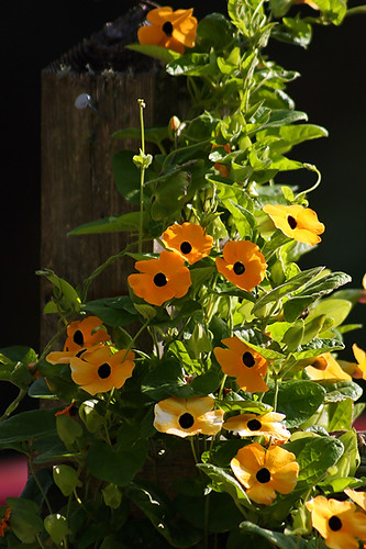 Black-eyed Susan Vine (Web)