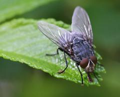 Fly (russellstreet) Tags: newzealand insect fly auckland nzl aucklandbotanicalgardens