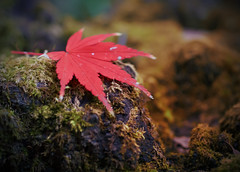 Leaf & Rock (torode) Tags: autumn red rock tokyo leaf maple    koenji  explored bentorode benjamintorode