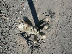 Saguaro Cactus (El Kite Pics) Tags: arizona cactus usa kite desert aerial kap saguaro