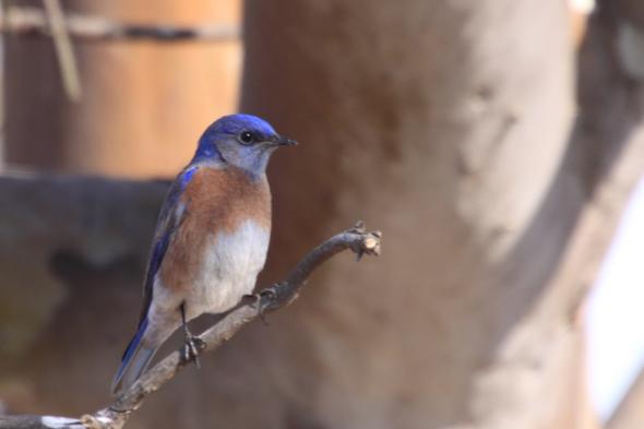 436_westernBluebird