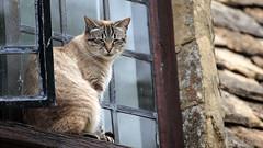 Bibury cat