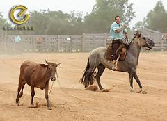 IMG_5840 (Edu Rickes) Tags: brazil horses brasil caballos cow cavalos rs riograndedosul sul tradicionalismo rodeio gaúchos beautifulshots piratini gineteada brazilianphotographers fotógrafosbrasileiros tirodelaço todososdireitosreservados fotógrafosgaúchos culturagaúcha edurickes belasimagens southofbrasil edurickesproduçõesfotográficas copyright©2010 fotografiaslegais