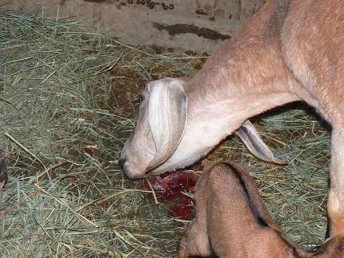 Goats lick her feet