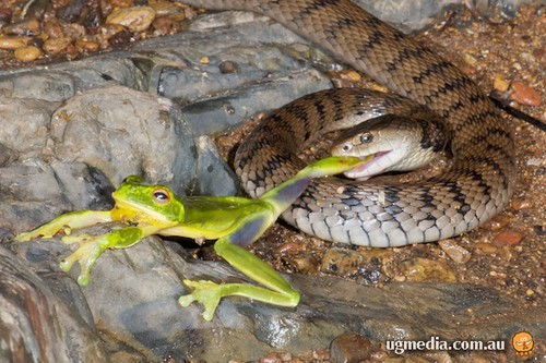 Rough-scaled snake (Tropidechis carinatus) versus red-eyed tree frog (Litoria chloris)
