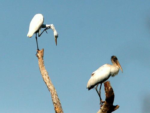 Egret and Stork 20100108