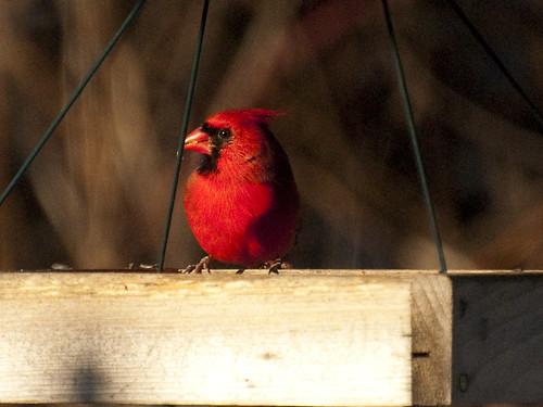 new years cardinal