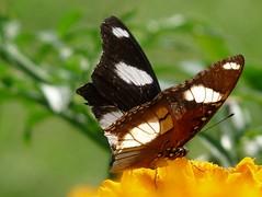 Marigold visitor