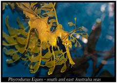 Phycodurus Eques_800_01 (Bruno Cortada) Tags: malawi marino mbunas cclidos sudafricanos tanganyica