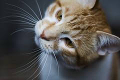 ? (tuna bites) Tags: cat chat felino gatto ugo tunabites