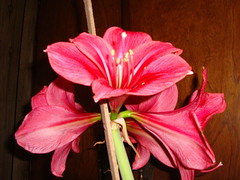Amaryllis on Feb 15, 2010