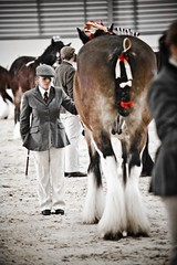 IMG_7113 (Tony Golding) Tags: horse love flickr shire equine shirehorse heavyhorse tonygolding heavyhorsephotography shirehorsesocietyspringshowcollection forgetmenothere