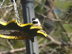 Chickadee on Sunflower Feeder