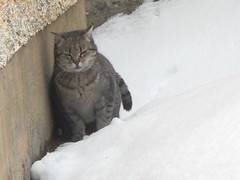 març 2010 059 Mixa (visol) Tags: winter snow cold cat hiver nieve fred gata invierno neige frío froid neu chatte mixa hivern kittysuperstar kittyschoice