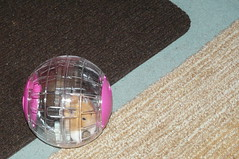 Madge in her ball (titchytoo) Tags: terrible hamsters twosome the