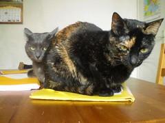 Mei i Suuna. 19 de març 2010 (Julio Lamaña) Tags: cat chat gato gat