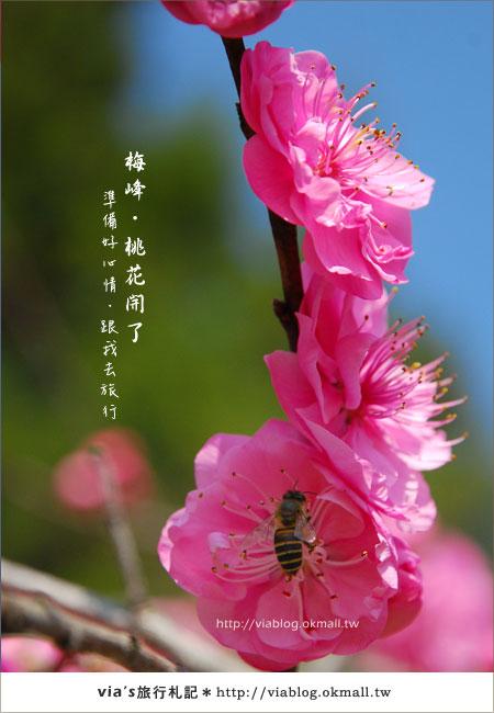 【梅峰農場桃花緣】最美的桃花隧道,就在南投梅峰這裡~(上)9