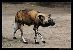 African Wild Dogs / Afrikanische Wildhunde (01) (Georg Sander) Tags: pictures wild wallpaper dog dogs zoo photo foto shot image photos shots african picture perro photograph fotos bild capture duisburg garten bilder captures africano lycaon zoologischer aufnahmen salvaje aufnahme pictus wildhunde afrikanischer wildhund afrikanische wildehond hyänenhund cynhyène gerald1311 hyänenhunde wildehonds