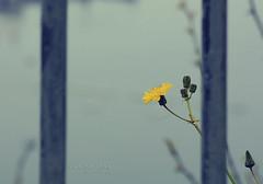 nonostante tutto. (*northern star) Tags: blue sea parco yellow azul canon iron mare blu bleu amarillo gelb giallo napoli railing blau fiore flowe ferro inferriata tamron70300 ringhiera northernstar neaples donotsteal tempodimerda eos450d virgiliano allrightsreserved nonostantetutto despiteeverything northernstarandthewhiterabbit northernstar digitalrebelxsi stosclerando usewithoutpermissionisillegal northernstarphotography ifyouwannatakeitforpersonalusesnotcommercialusesjustask despiteall foggyandcloudy comeazzsitraduce inspiteofall macavesseragioneilmioragazzoquandodicechenonsolinglese cielodevoincominciaretuttodacapothecatisonthetable ditemicosamaicifaungattosultavolo