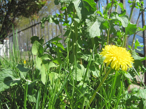 Dandelion and Arugula (90/365)