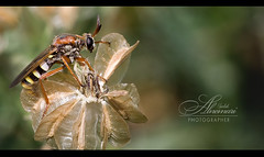 Insect  ::|Explore|:: (Saleh Alnemari) Tags: black macro green canon insect 350d photographer sigma explore 1855 bron  saleh  elites      eliets  alnemari salehnemari   salehphotographer