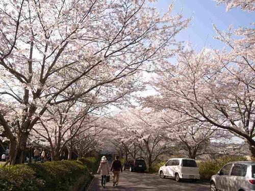 <桜>当麻寺横の公園-01