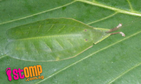Mysterious leaf insect camouflages itself on plant