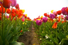 tulipallee (sweber4507) Tags: wooden shoe tulip farm flower blossom spring row garden agriculture rural pink purple red yellow vibrant