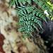 Madagascar Ankanin'Nofy Palmarium plant