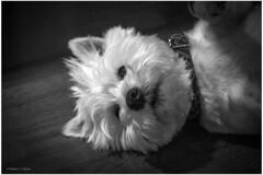 Lazy Ozzy! (mattpacker1978) Tags: dogportrait art fluffy dog westie westhighland terrier blackandwhite black nocolour monochrome eyes nose collar love k9 doggy cute canon dslr floor ears canon700d canondigital