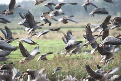 Pink footed Geese spooked by a heron, Martin Mere October 2009 (Gidzy) Tags: uk greatbritain autumn england bird english heron nature birds fauna countryside geese wings october europe european natural northwest unitedkingdom britain wildlife sony watching birding beak feathers reserve ducks environmental aves lancashire naturereserve gb environment british mallard northwestern northern winged ornithology birdwatching 2009 naturalworld birder avian floraandfauna burscough wwt waterbirds watcher vertebrate feathered birdwatcher beaks wildfowl ornithologist wildlifepark greylag birdspotting pinkfooted northernengland martinmere anserbrachyrhynchus biota wildfowlandwetlandstrust birdspotter