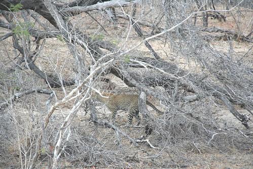 Leopard sneaking around the bush - Selous GR, Tanzania