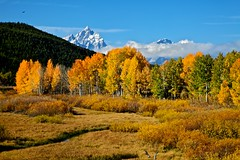 Golden Aspen, Grand Tetons, Early Snow [Explored] (Daryl L. Hunter - The Hole Picture) Tags: fall wyoming grandtetons jacksonhole grandtetonnationalpark earlysnow goldenaspen colorsfallgrandtetonsgrandtetonnationatparkwyomingunitedstatesof