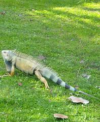 Iguana (2sheldn) Tags: travel usa canon d50 geotagged puerto puertorico rico explore iguana tropical caribbean allrightsreserved isladelencanto sheldn canoneos550d copyrightdanielsheldon allrightsreserveddanielsheldon sheldnart