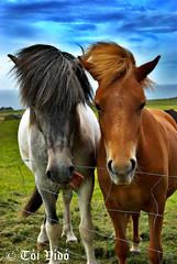 Happy couple (Toi-Vido) Tags: blue sea horse nature water animal outdoors island happy iceland nikon couple vestmannaeyjar sland nttra heimaey toi d60 seawater vido outofdoors hestar hestur coth hross nikond60 blt colorphotoaward coth5 ti vd toivido tivd