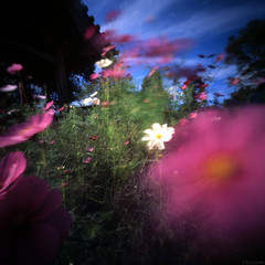 The rhythm of the wind (tearoom) Tags: flowers sky japan clouds temple holga wind pinhole nara 2009 cosmos velvia50 hannyaji