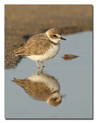 Snowy Plover © L. Selman (lselman) Tags: ocean reflection bird beach nature water port sand davenport snowyplover scottcreek selman alemdagqualityonlyclub