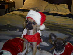 Christmas 09 (cerberus_arstd) Tags: christmas dog chihuahua cute puppy puppies holidays teddy zuzu cujo