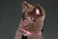 Lil Bear (mightyanubis3488) Tags: chocolate pomeranian lilbear