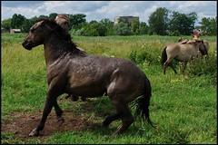 020 (Bargais) Tags: wild horse latvia latvija jelgava zirgi pilssala savvaļa