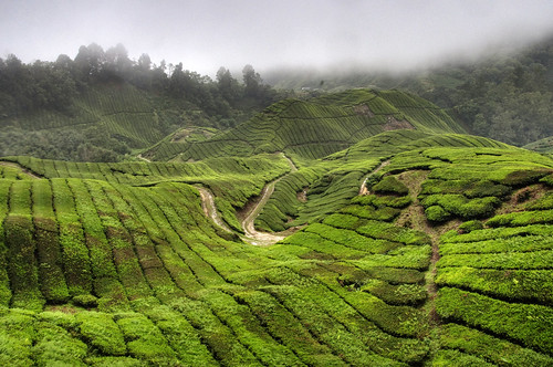Cameron Highlands 13