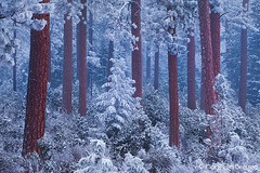 Silent Night (Floris van Breugel) Tags: blue trees winter snow night oregon forest twilight woods deschutes nationalforest ponderosa winterwonderland